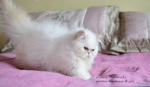 Kocieta perskie colourpoint,  dolnośląskie Legnica