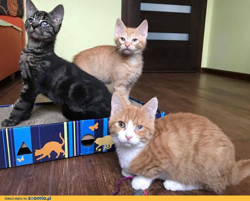 3 miesięczne kotki, Pączek i Kluska szukają domu!
