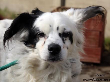 Reksio - długowłosy przystojniak szuka domu