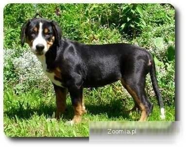 Duży szwajcarski pies pasterski- suczka rodowodowa