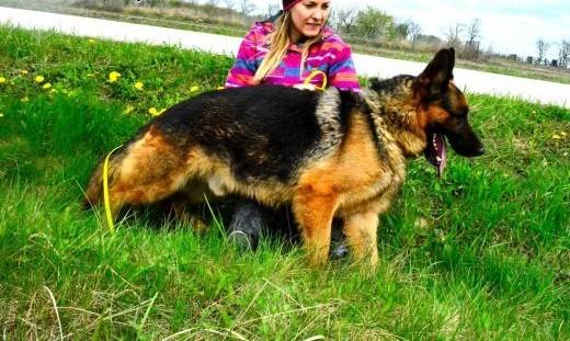 Kanto - mlody owczarek do adopcji   Owczarek niemiecki cała Polska