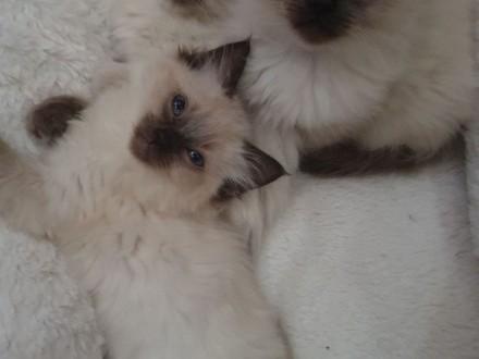 Ragdoll Kocięta gotowe!   Koty ragdoll cała Polska