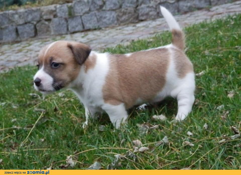 jack russell terrier lublin/warszawa