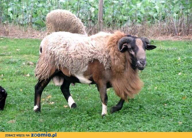 Owca kameruńska - baran