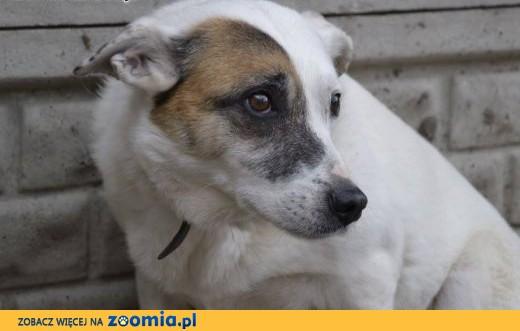 TOLA-piękna, biała z łatą na oku - jest nieśmiała i delikatna,  śląskie Katowice