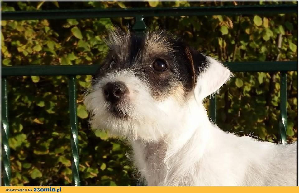 Jack Russell Terrier - szczeniaki rodowód ZKwP/FCI - suczka