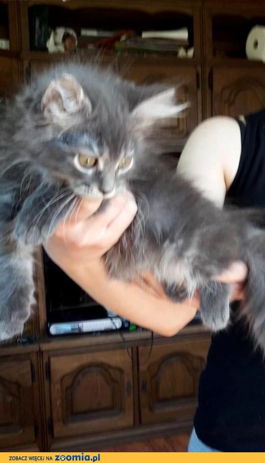 Omega kotka syberyjska z rodowodem,  mazowieckie Warszawa