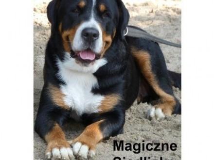 Duży Szwajcarski Pies Pasterski szczeniaki z rodowodem   śląskie Katowice