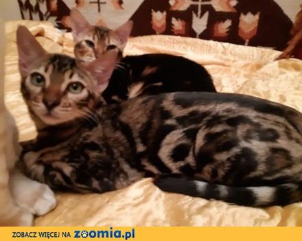 Bengalski Kot - śliczny  tygrysek