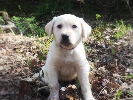 Sprzedam szczenięta labrador retriever