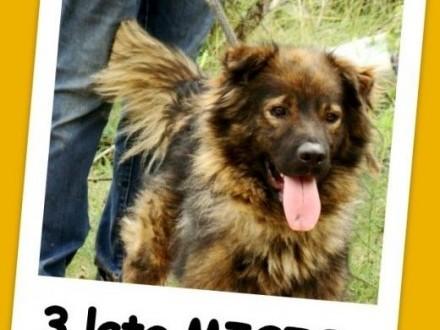 3 lata 18 kg łagodny towarzyski spokojny pies MISIOAdopcja   małopolskie Kraków