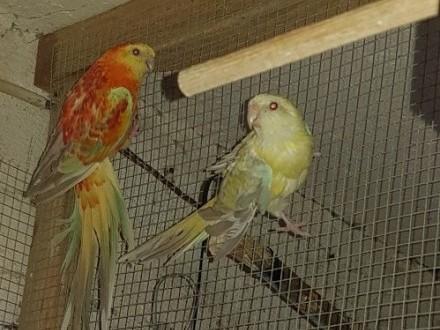Papugi świergotki para zamiana