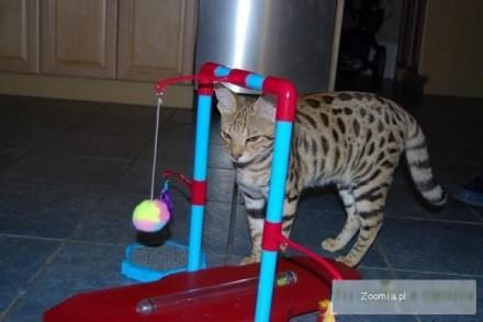 skromne i spokojne koty sawanny za darmo przyjęcia i