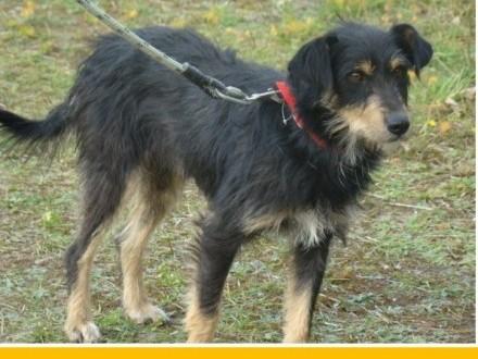 TERIK-dwuletni psiak w typie teriera  przyjazny wesoły waga 10 kg_Adopcja_