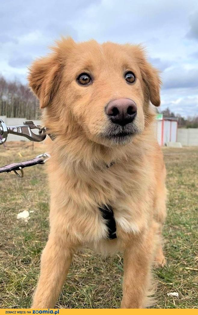PUSZEK - wrażliwy psiak w typie golden retriver szuka domu!