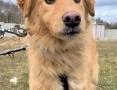 'PUSZEK - wrażliwy psiak w typie golden retriver szuka domu!