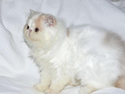 Kocięta perskie długowłose - są dostępne!