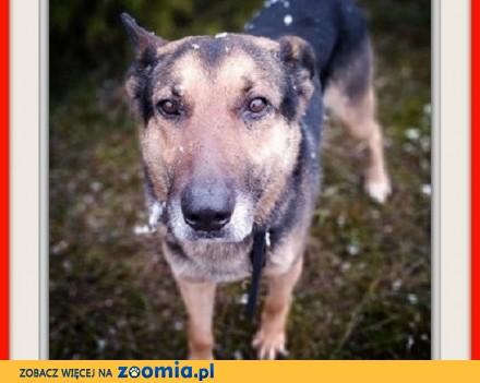 Dosyć duży 7 letni typ owczarka kontaktowy szczepiony pies HUZAR_Adopcja_