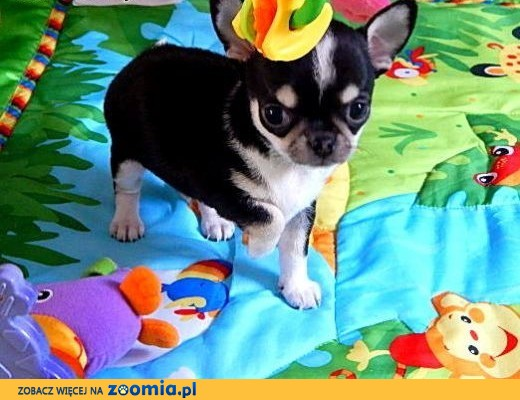 Chihuahua krótkowłosy, malutki piesek,  dolnośląskie Wrocław