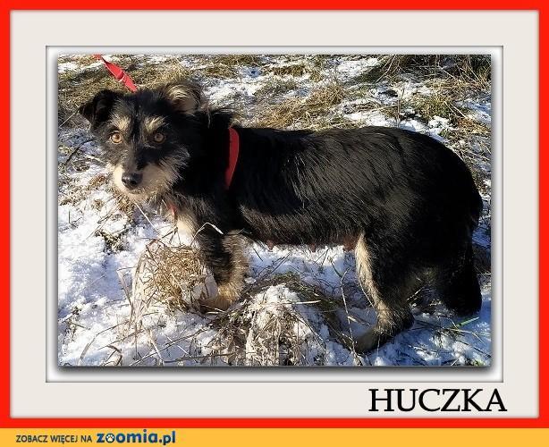 2 lata,mała 8 kg,terier mix,łagodna,sterylizowana suczka HUCZKA_Adopcja_