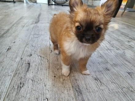 Chihuahua wybitny piesek   mazowieckie Warszawa