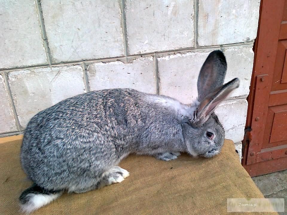 Sprzedam króliki BOSI