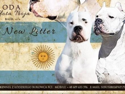 DOG ARGENTYŃSKI SZCZENIĘTA Dogo Argentino szczeniaki ZKWP FCI Rodowód