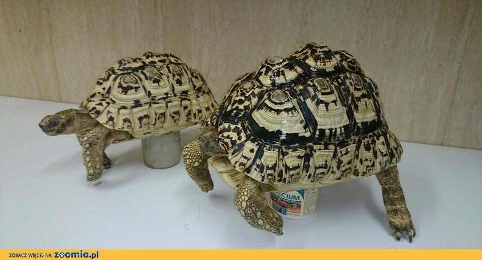 żółw lamparci-parka