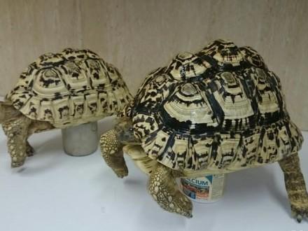 żółw larci-parka
