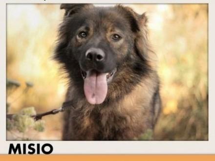 Z domu tymczasśredni łagodny aktywny pies MISIOAdopcja   śląskie Katowice