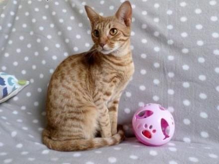 Rodowodowa samiczka rasa Ocicat   piękna i kochana   kot Ocicat   warmińsko-mazurskie Giżycko