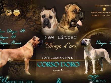 Corso Doro miot Drago d oroprzepiękne kolory szczeniąt