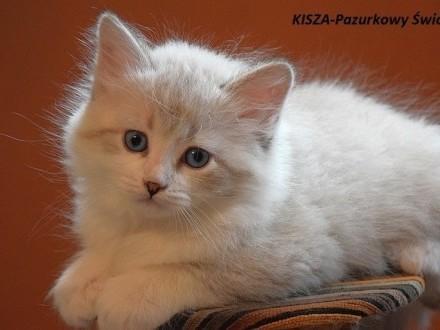 WCF/PZF Rodowodowe kocięta Neva Masquerade-sprzedam
