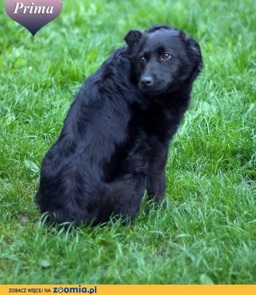 PRIMA - wesoła psia dama czeka na swojego człowieka.,  małopolskie Nowy Sącz