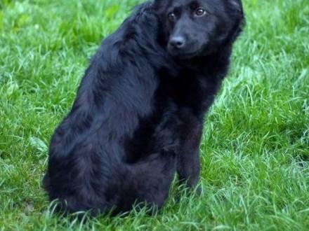 PRIMA - wesoła psia dama czeka na swojego człowieka   małopolskie Nowy Sącz