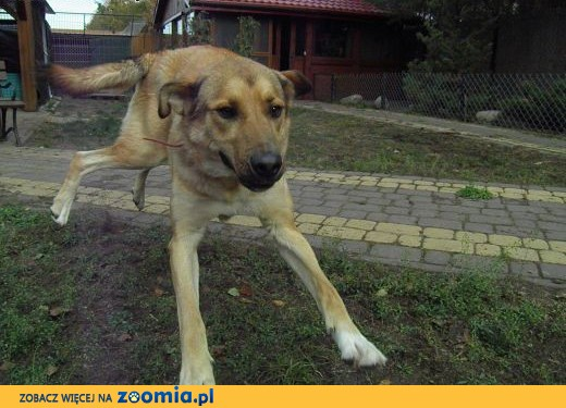 Maciek duży,  energiczny fajny dwuletni pies,  zachodniopomorskie Szczecin