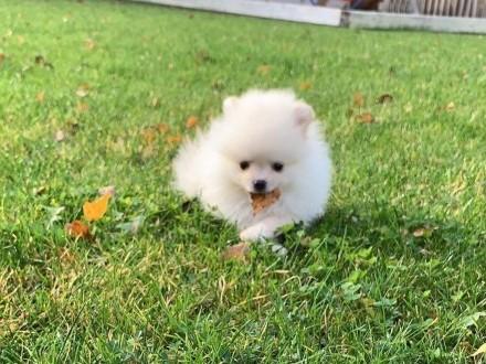 Szpic Miniaturowy Pomeranian - Piesek 2 z rodowodem