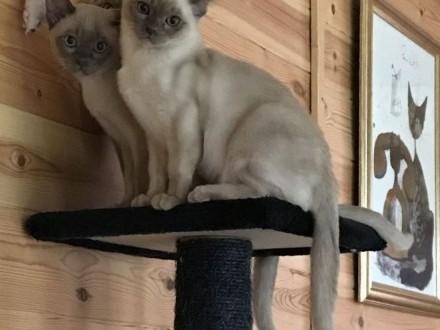 Rodowód czekoladowe kocięta płci męskiej i żeńskiej   Koty burmańskie cała Polska