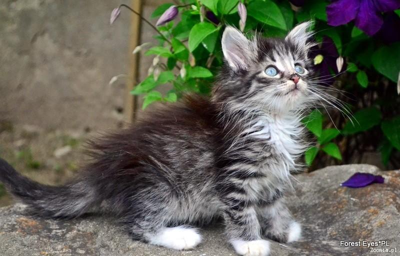Nowość Kot norweski leśny - ogłoszenia z hodowli. Koty norweskie leśne EX99