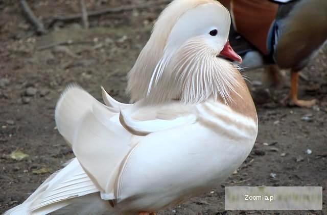 Kaczki mandarynki białe