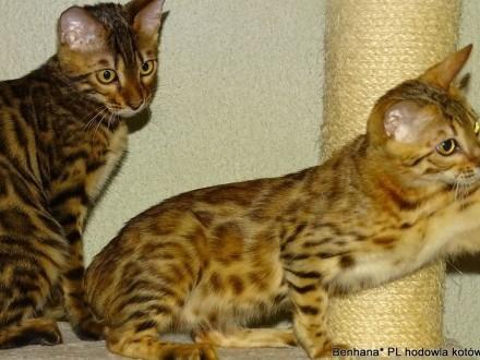 kociaki bengalskie - rodowody FPL
