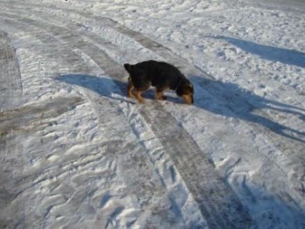 Drago - super fajny terier   podkarpackie Kolbuszowa