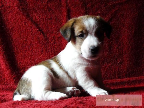 Szczenięta Jack Russell Terrier FCI