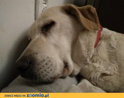 Fanta, cudowna labradorka - uratuj jej psie serduszko