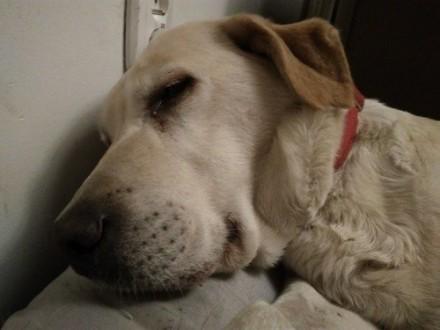 Fanta  cudowna labradorka - uratuj jej psie serduszko