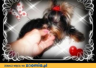 York, yorkshire terrier! ELITARNE CUDEŃKA-PILNIE! PIESEK -1 kg.,małopolska,  małopolskie Kraków