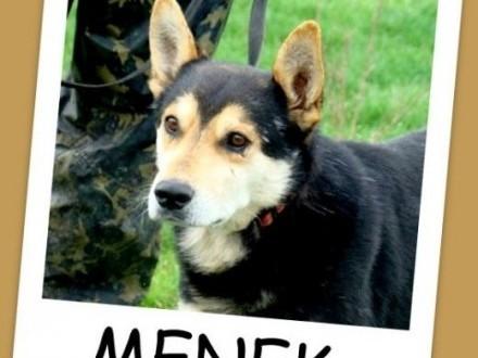 Husky mix  pies MENEK  przyjacielski spokojny grzecznyAdopcja   małopolskie Kraków