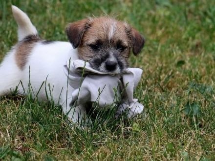 JRT - Jack Russell Terrier ZKwP FCI - śliczne szczenięta szorstkowłose