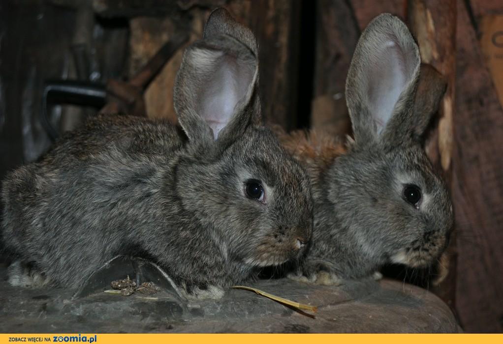 Sprzedam młode króliki rasowe Belgijski Olbrzym Szary (BOS)
