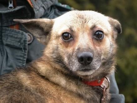 Bono-mały  3-letni  delikatny pies szuka domu!